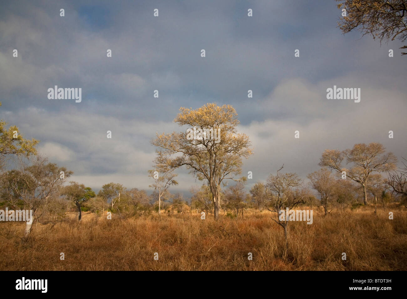 Savanna Acacia landscape during the dry season - Stock Image