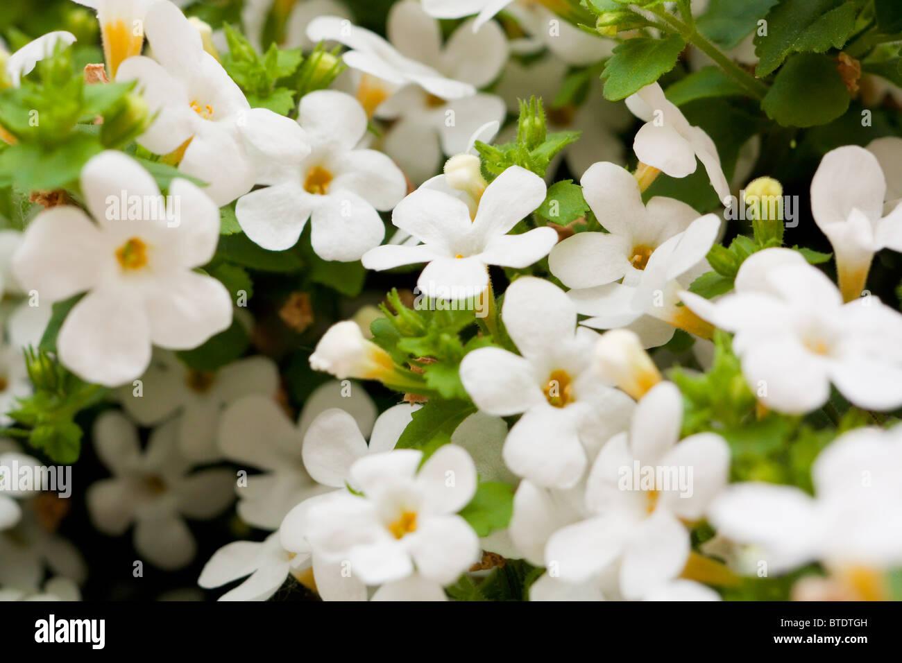 Little white flowers stock photos little white flowers stock background of little white flowers stock image mightylinksfo