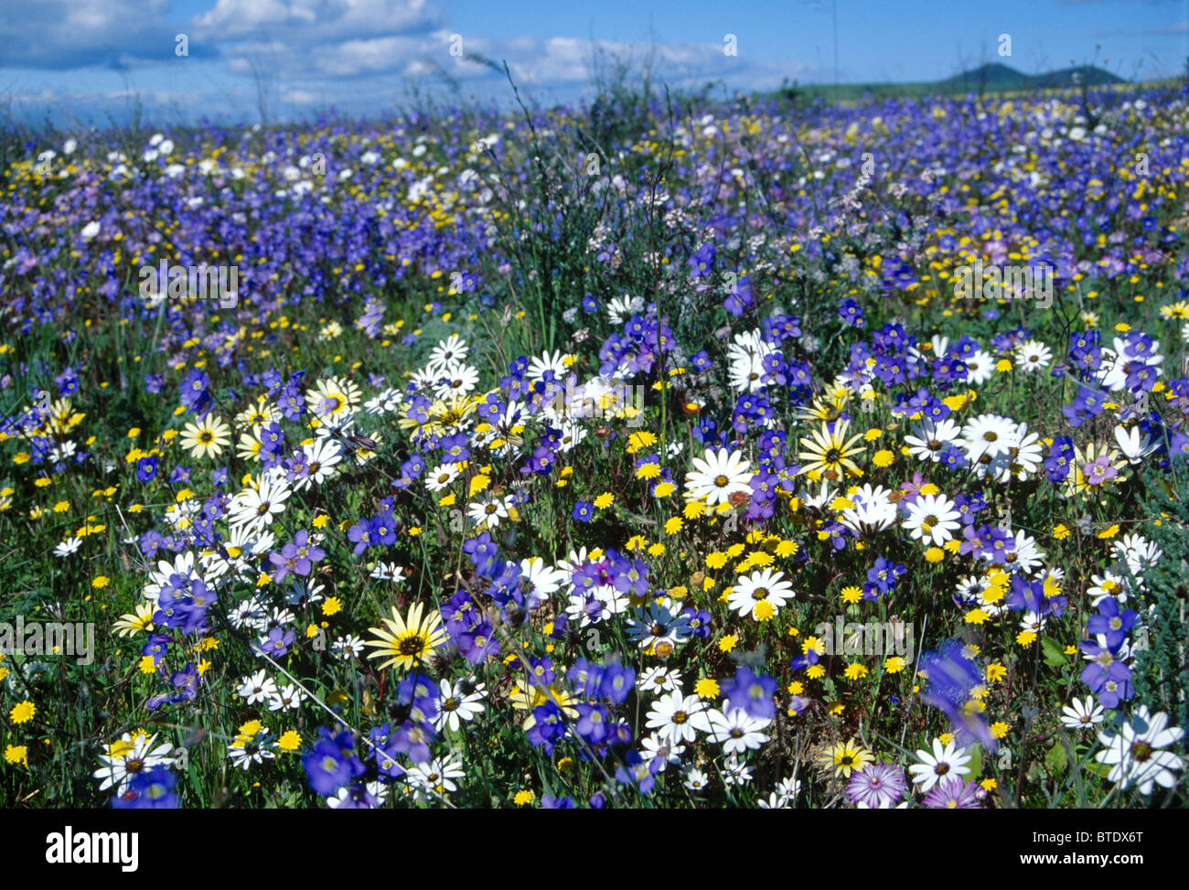 Field wild flowers western cape stock photos field wild flowers a field of wild spring flowers near darling in the western cape stock image mightylinksfo