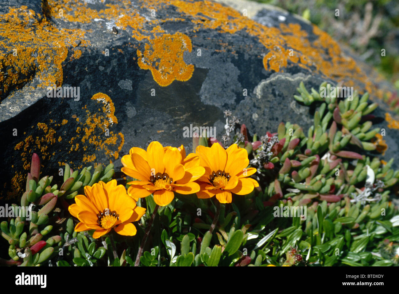 Bright Yellow Succulent Flowers Growing Next To A Lichen Covered
