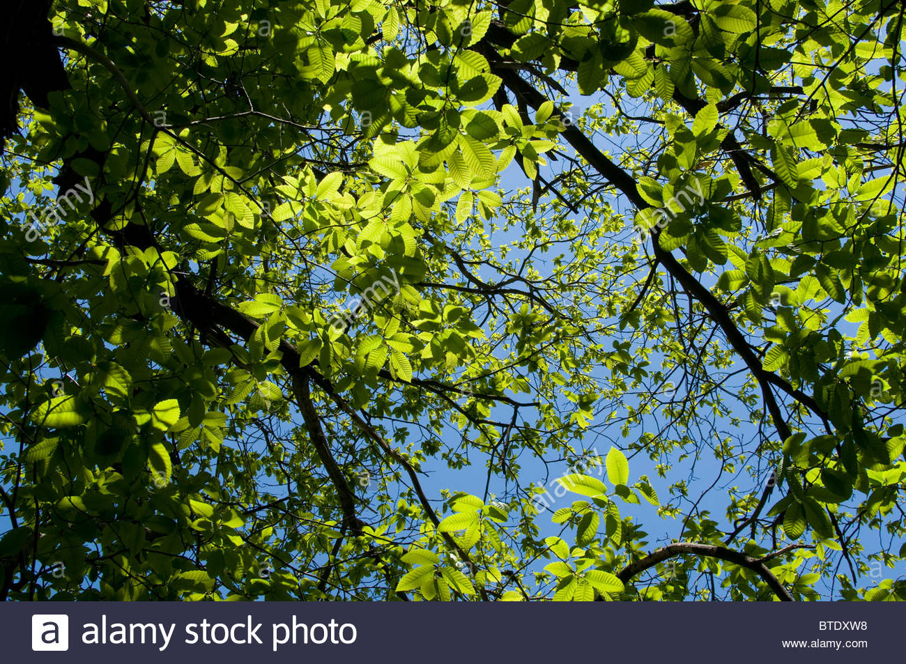 A tree with green leaves against a blue sky - Stock Image