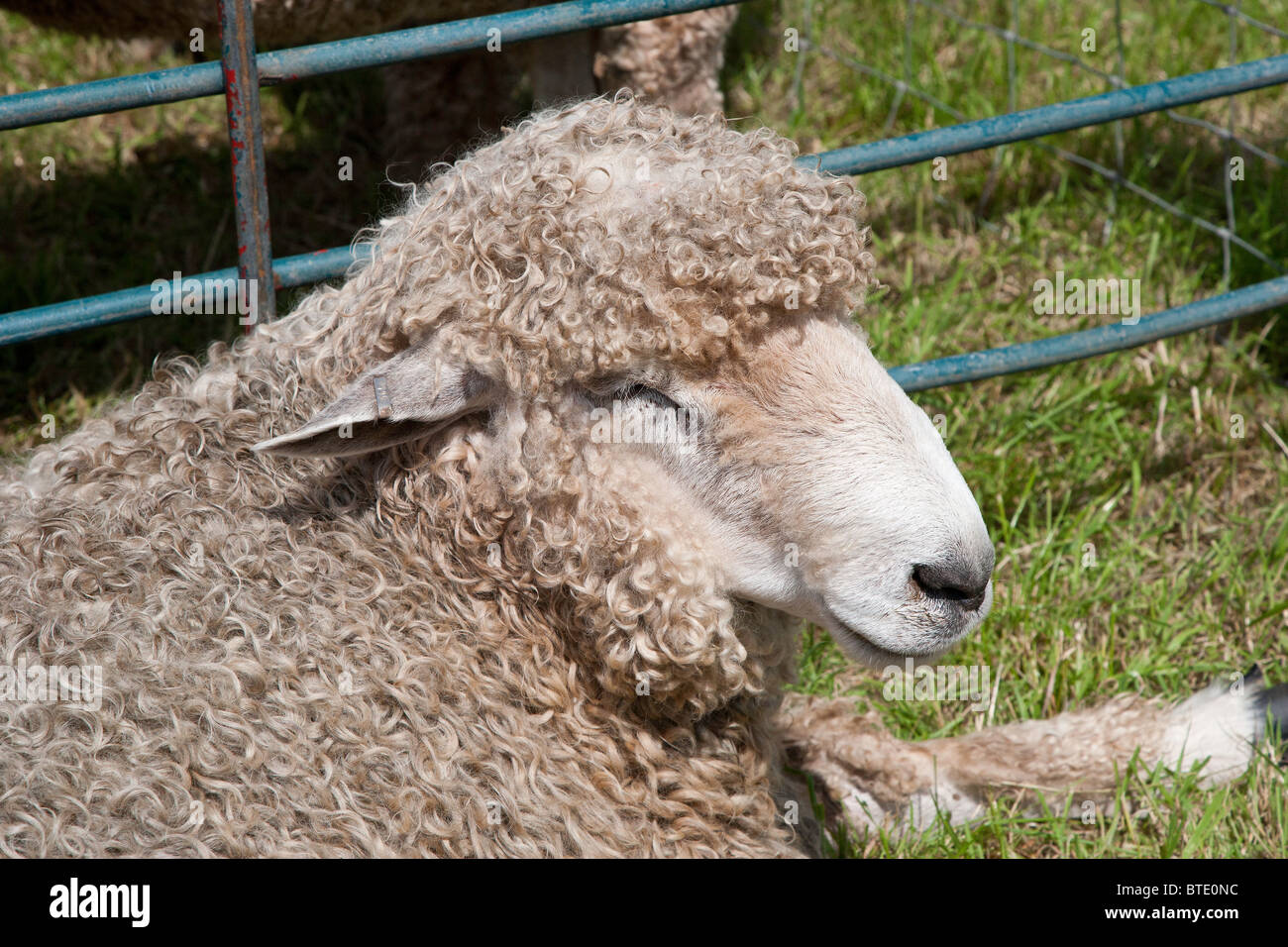 LINCOLN LONGWOOL SHEEP AT AGRICULTURAL SHOW CHEPSTOW MONMOUTHSHIRE WALES UK - Stock Image