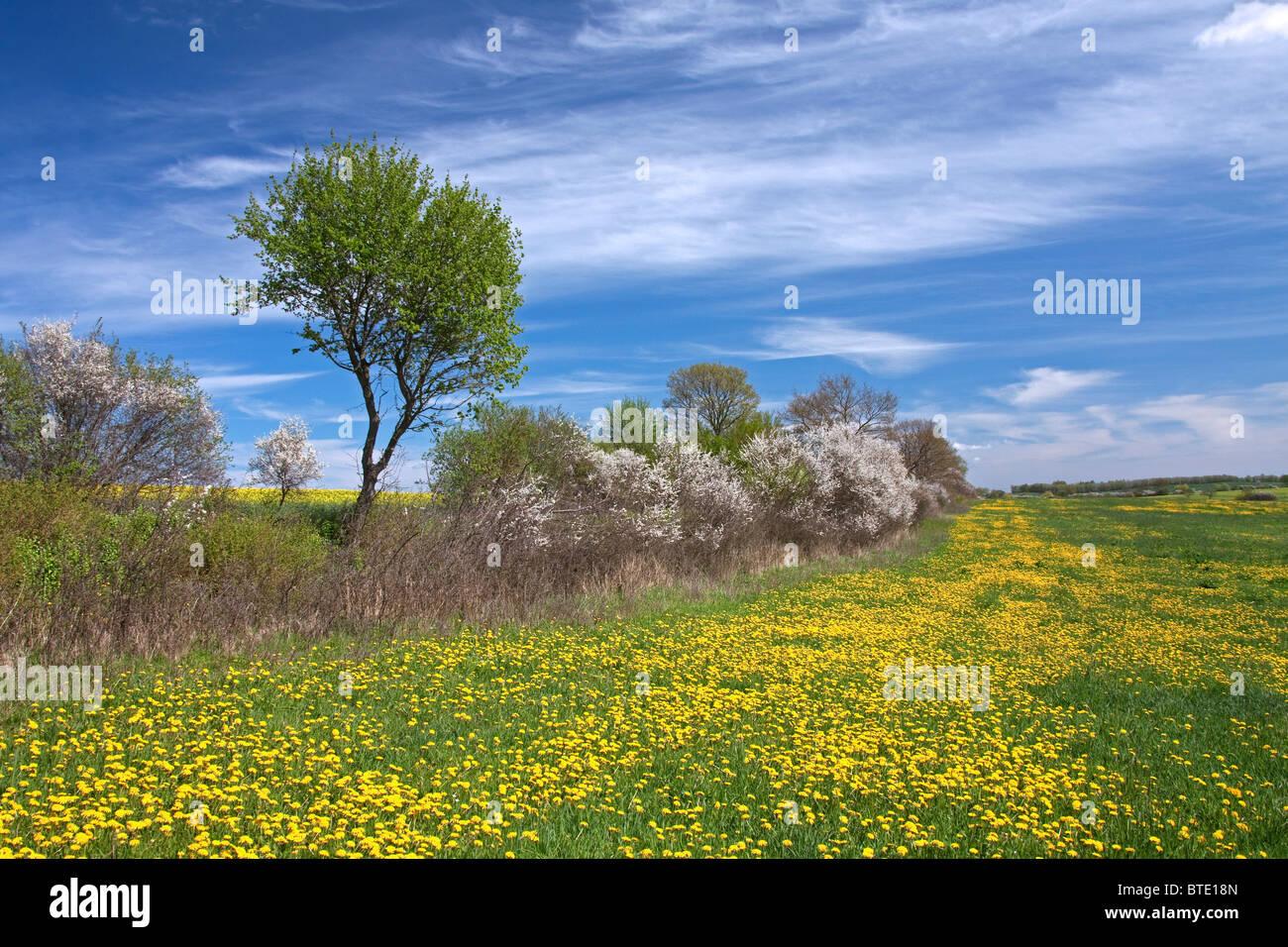 Hedge in spring with flowering Blackthorn / Sloe (Prunus spinosa) and Dandelions (Taraxacum officinale) in field, - Stock Image