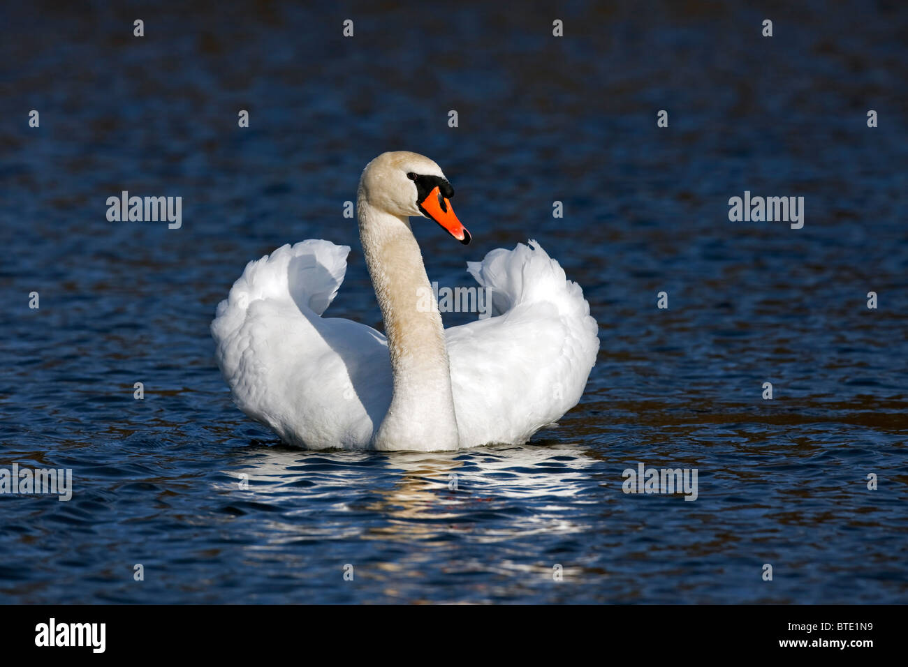 Mute swan (Cygnus olor) on lake showing busking threat display, Germany - Stock Image
