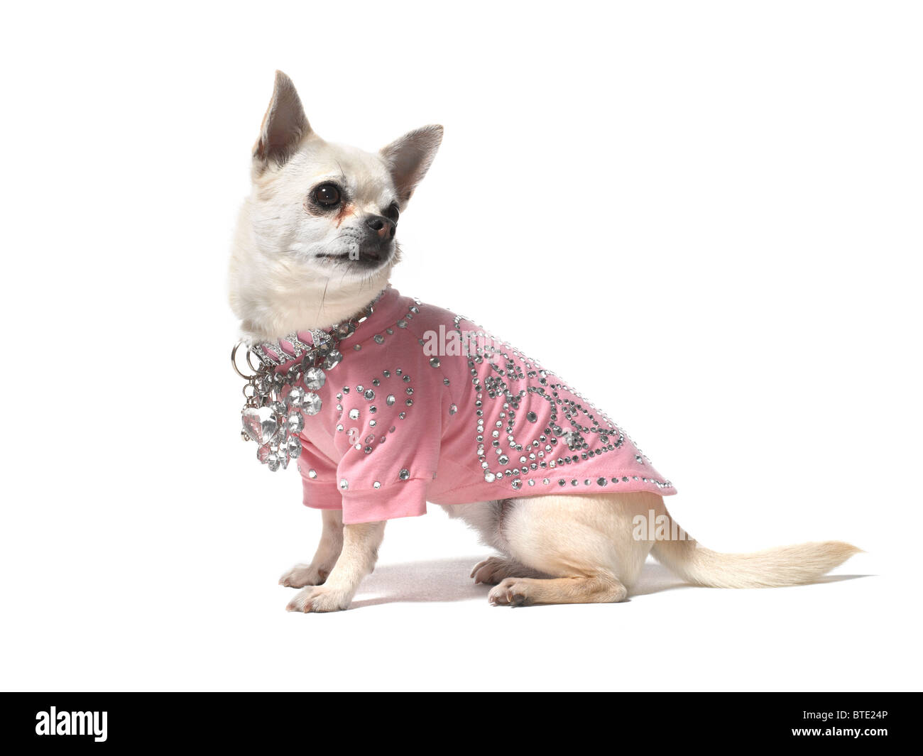 A Chihuahua sitting on a white background - Stock Image