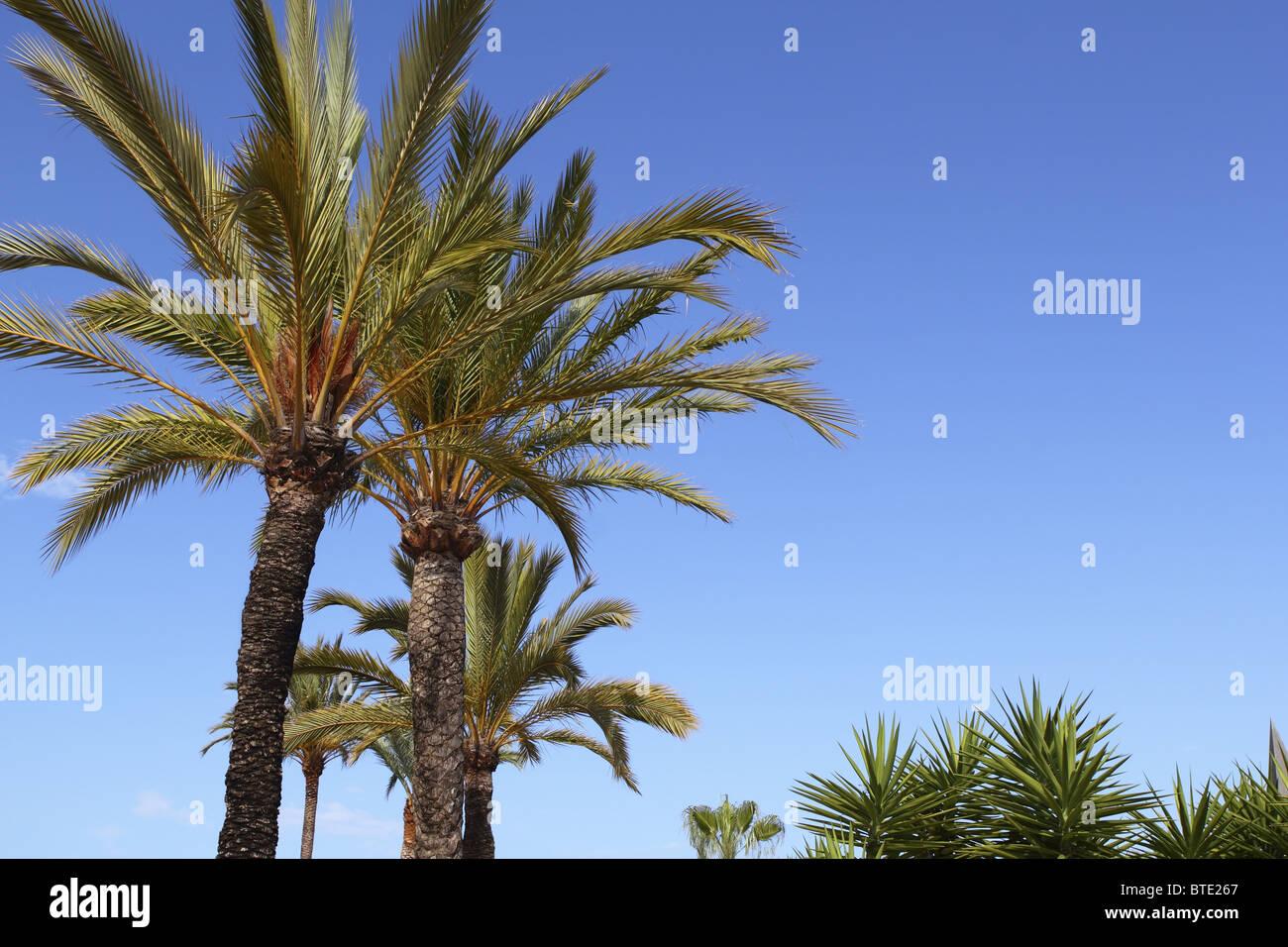 phoenix canariensis palm trees blue sky in mediterranean Spain - Stock Image