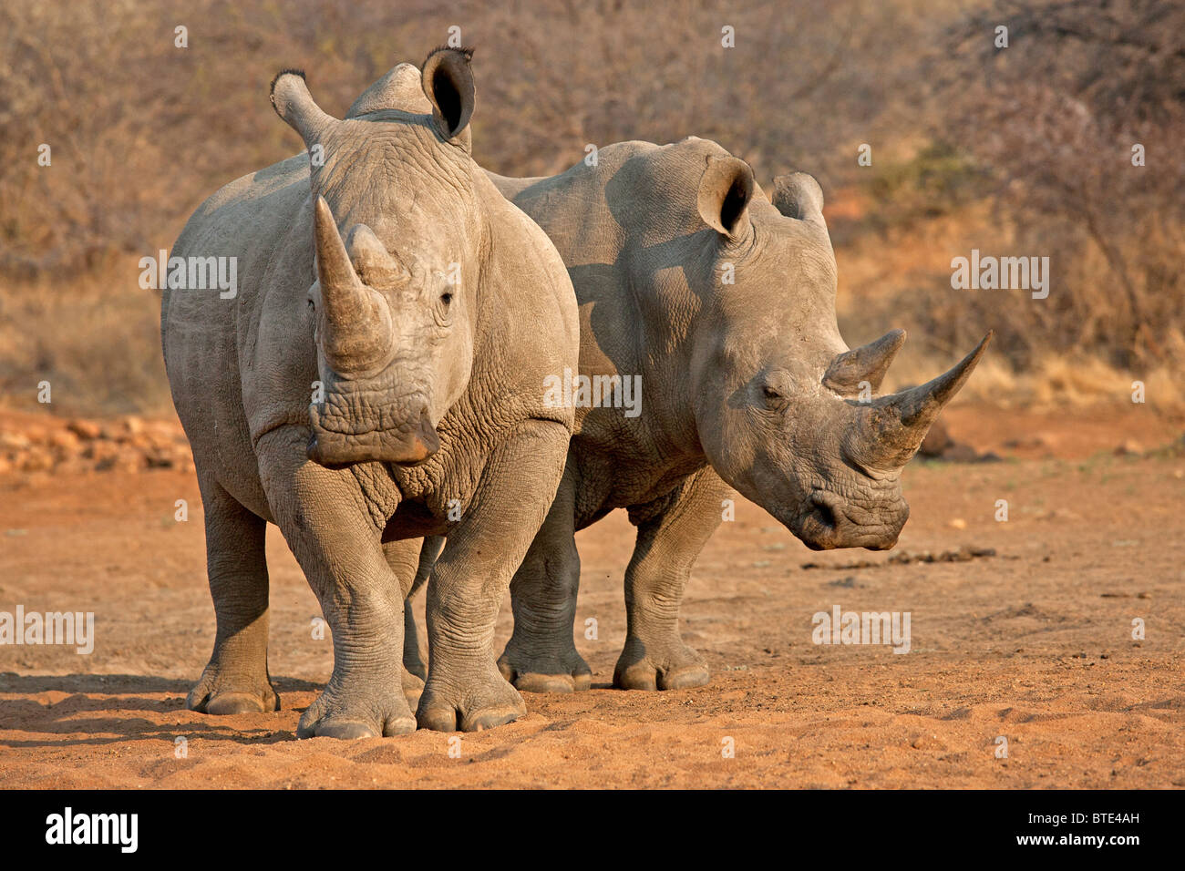 White Rhinos in the Kruger National Park, South Africa - Stock Image