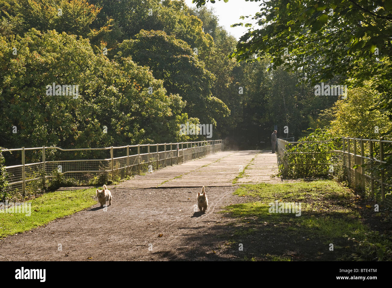 Two West Highland terriers enjoying a woodland walk at Easby, near Richmond, North Yorkshire. Stock Photo