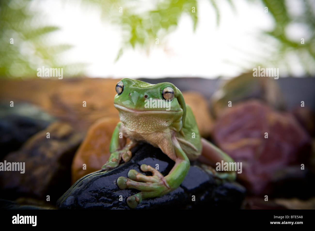 Australian Green Tree Frog posed sitting on a black rock in rainforest styled environment - Stock Image