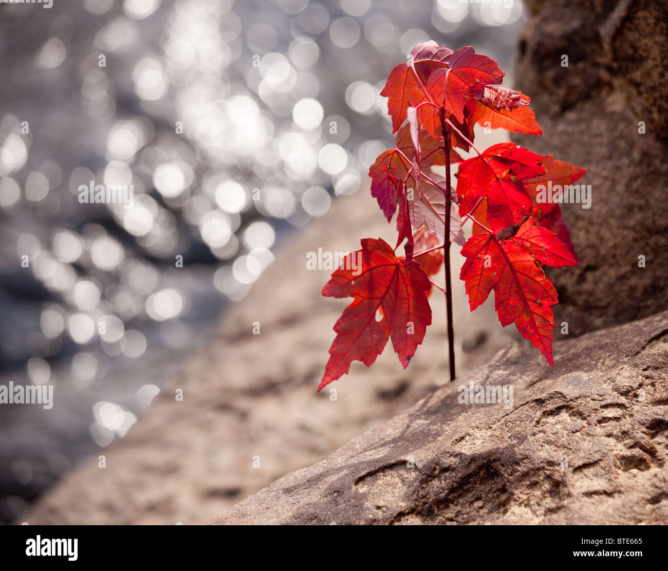 Maple leaf in the fall growing from rock by a river in autumn - Stock Image