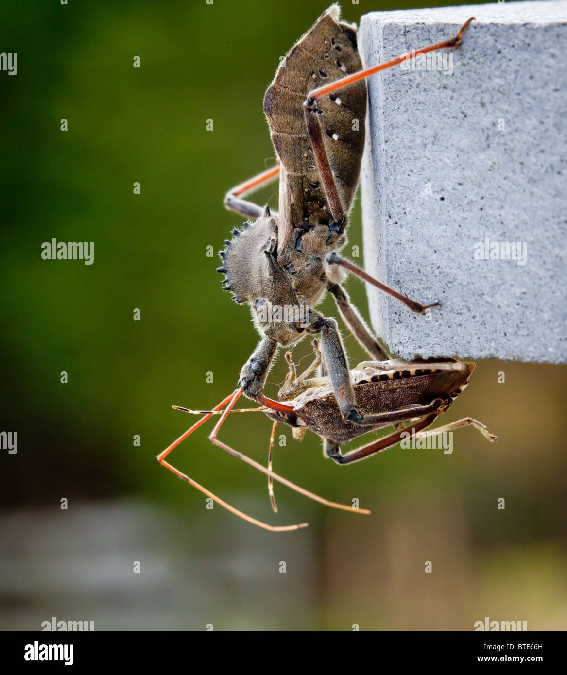 Rare shot of the predatory Assassin bug injecting venom into the body of a Stink or Shield bug Stock Photo