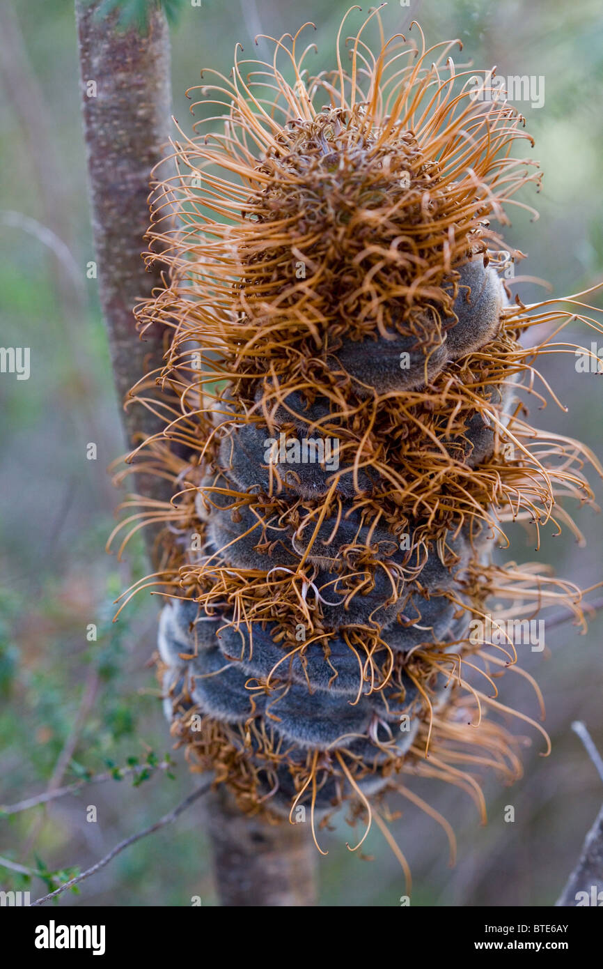 Banksia seedpod (Proteaceae), Royal National Park, Sydney, Australia - Stock Image