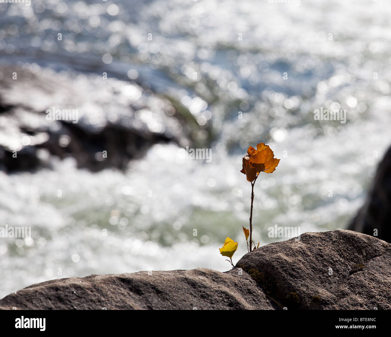 Backlit brilliant leaves of maple in the fall growing from rock by a sparkling river - Stock Image