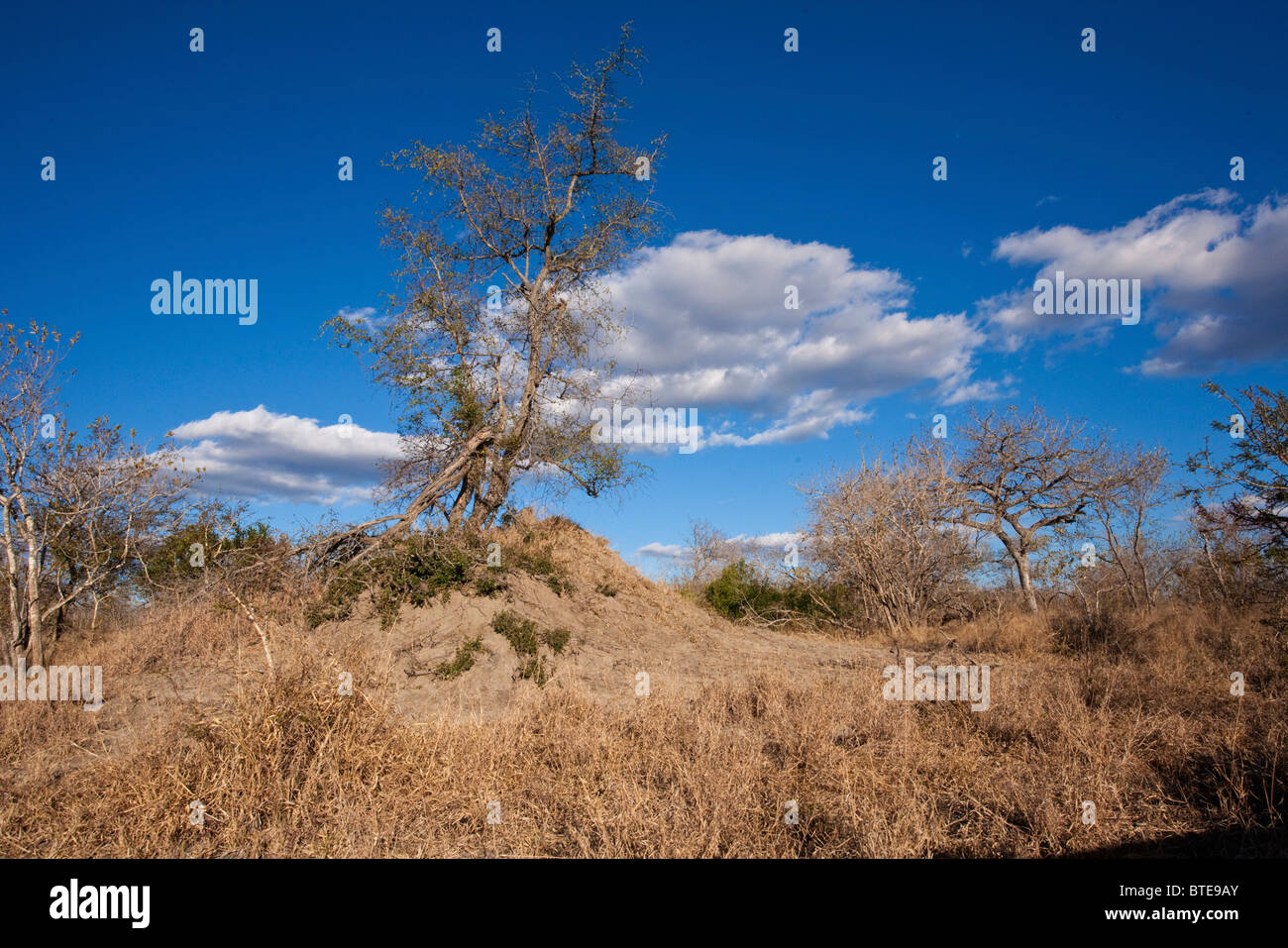 Bushveld scene with an anthill and leafless Marula trees during the dry season - Stock Image