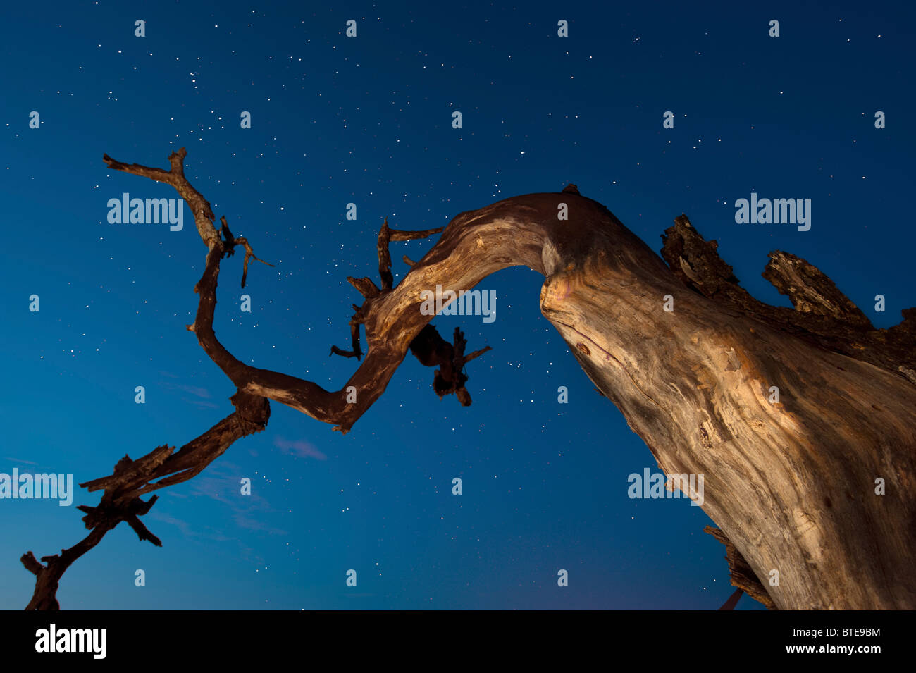 Moody starry sky viewed from below of a dead tree - Stock Image
