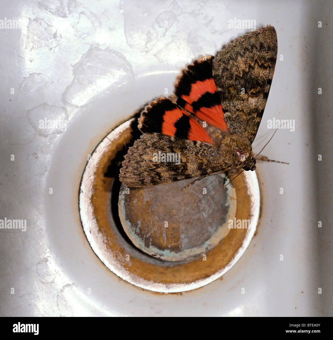Sweetheart underwing moth on sink drain - Stock Image
