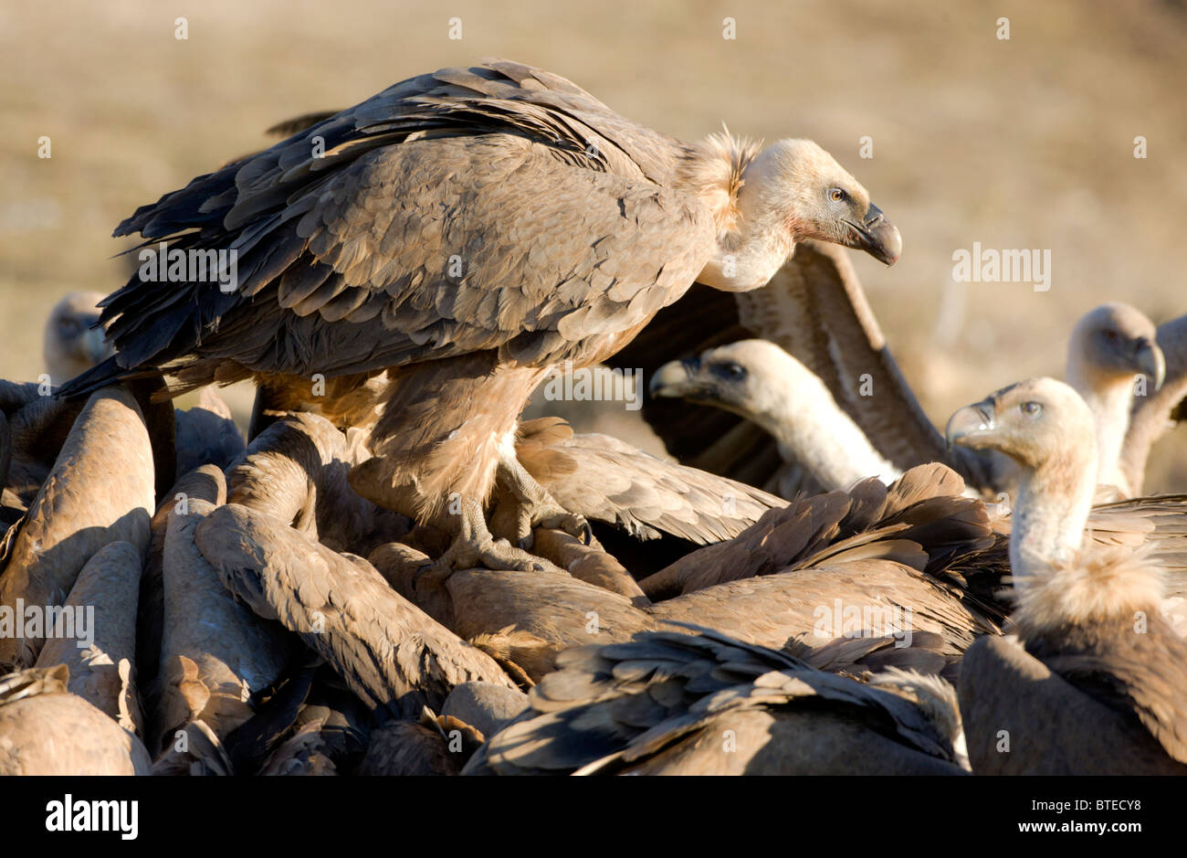 Griffon Vulture vultures Gyps fulvus fighting over carcass Spanish Pyrenees with one stood on the back of others Stock Photo