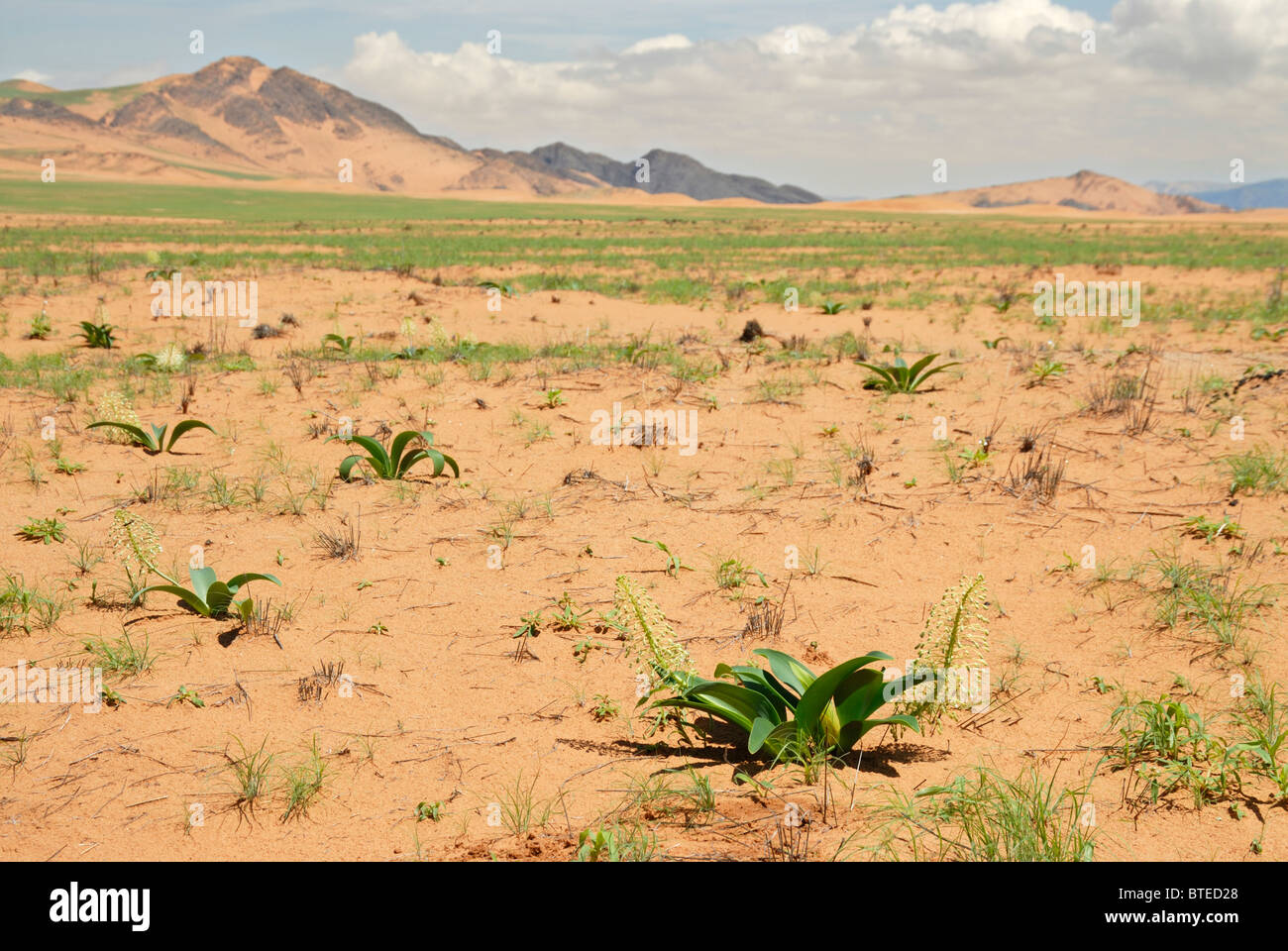 Scenic view of sandy plains with bulbous flowers - Stock Image