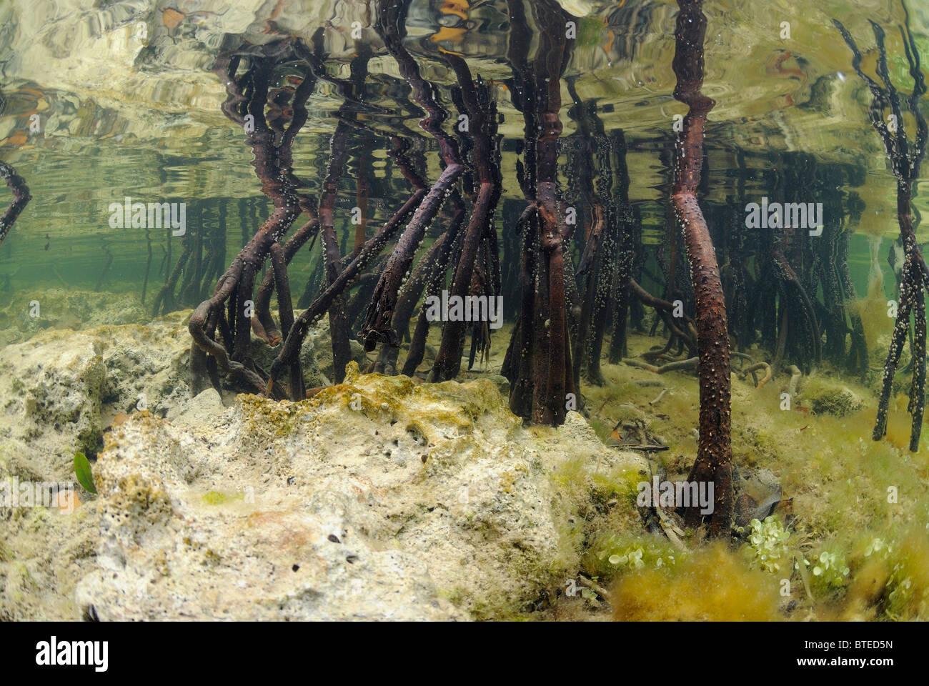 Tree Roots Red Mangrove Underwater Stock Photos Amp Tree
