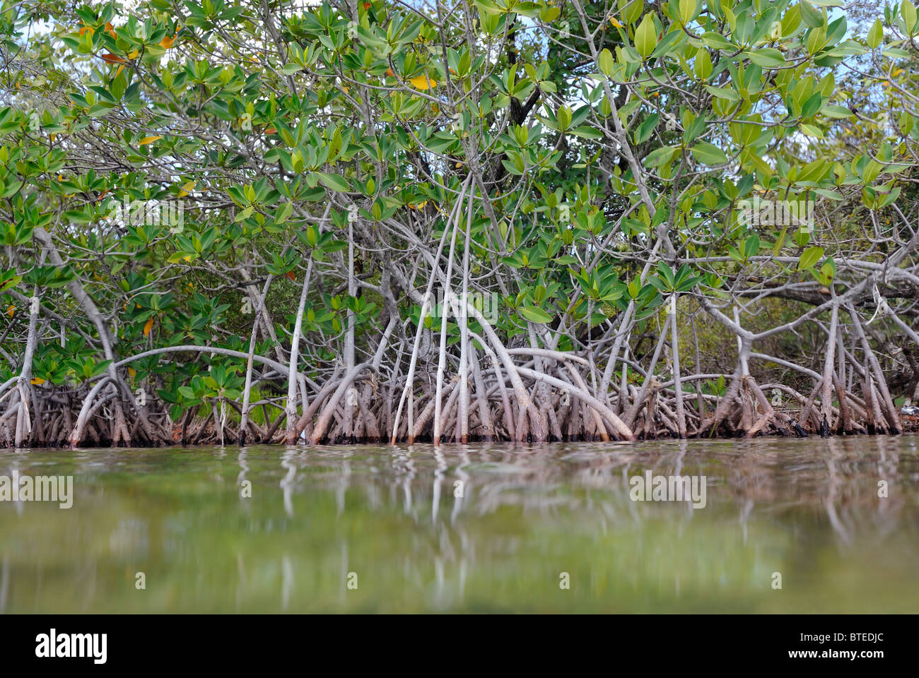 Red Mangrove Trees In Key Largo Gulf Of Mexico Florida