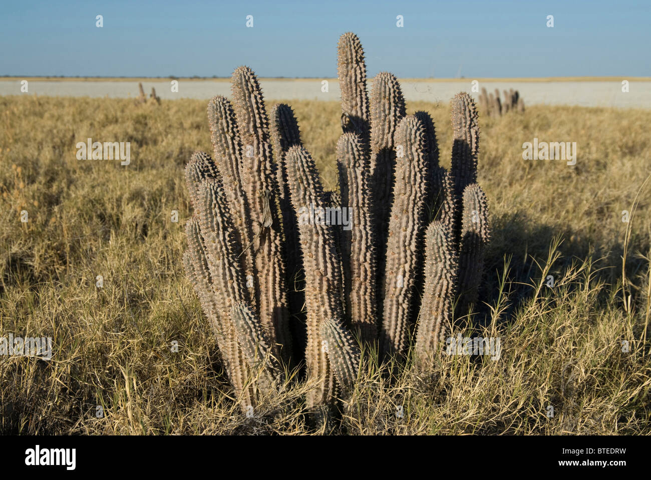 Hoodia, a natural appetite suppressant used by the San growing in natural habitat on the fringe of the Makgadikgadi - Stock Image
