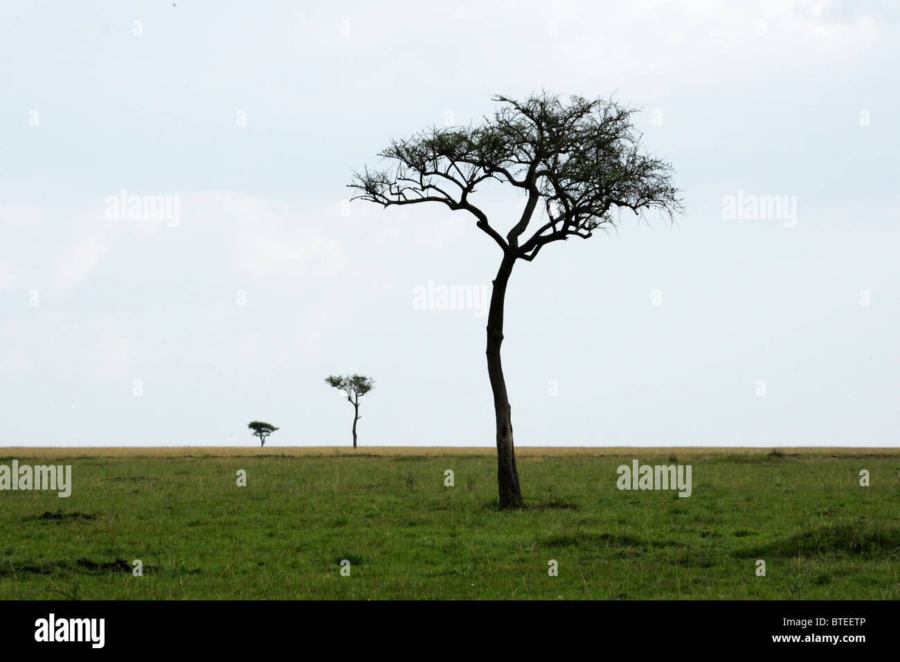 Scenic view of  a vast grassland with a lone tree on the short grass plains of the Mara - Stock Image