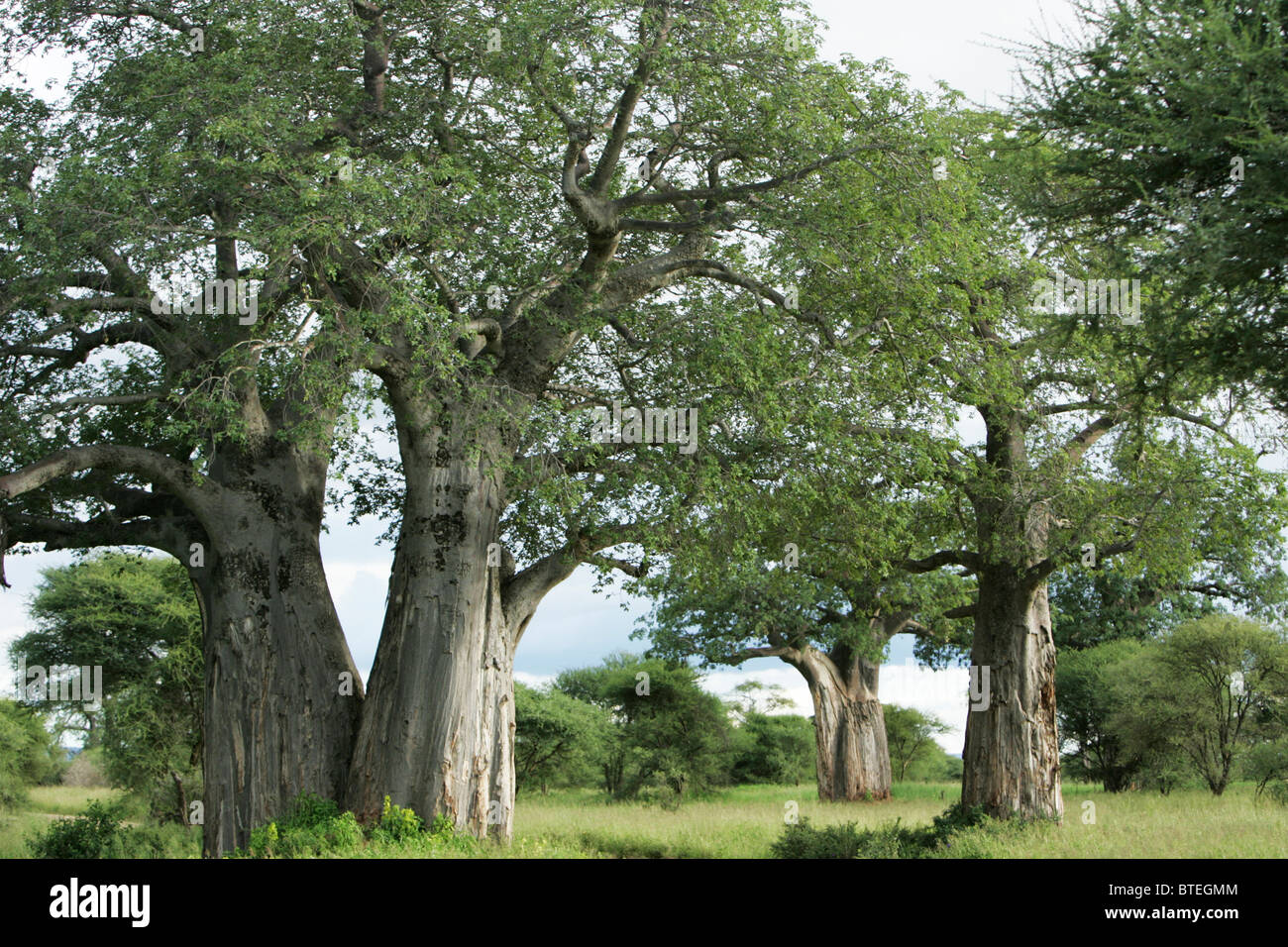 Cluster of Baobab trees growing closely together - Stock Image