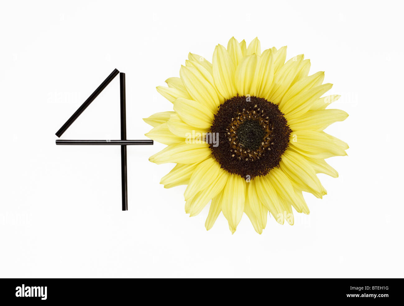 Sunflower representing number forty - Stock Image