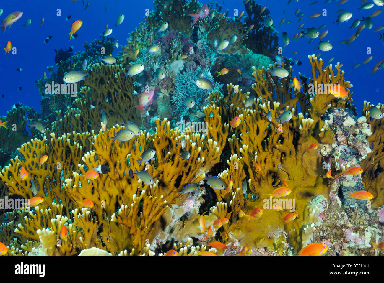Colony of fire coral growing off Hamata coast, Egypt, Red Sea - Stock Image