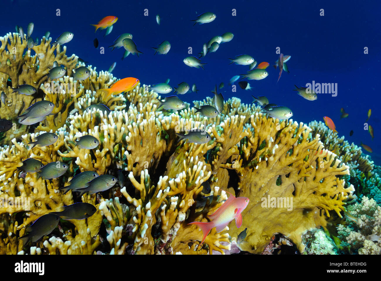 Colony of fire coral growing off Hamata coast, Egypt, Red Sea Stock Photo