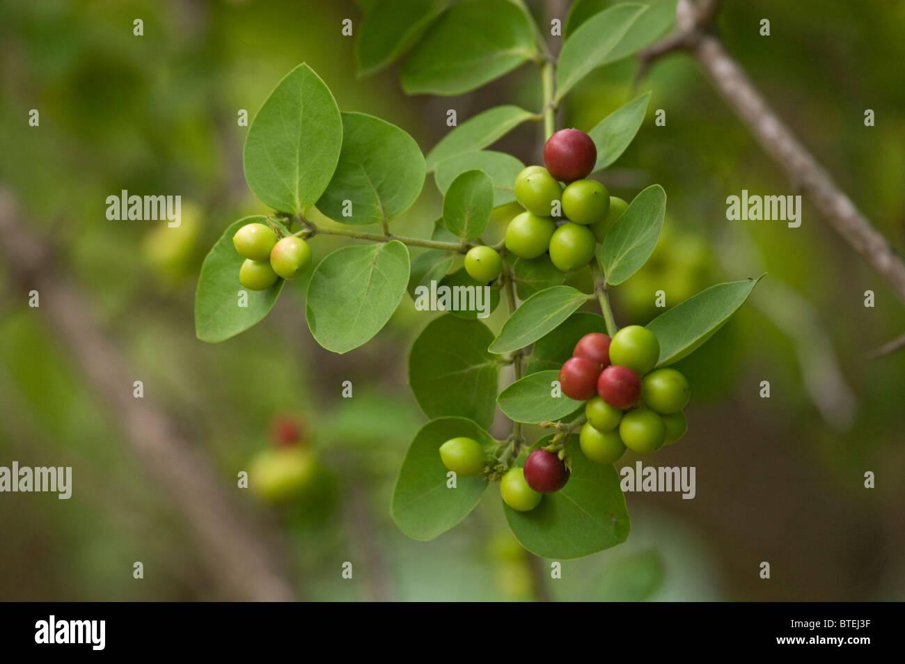 Simple spined num num (Carissa edulis) with fruit - Stock Image