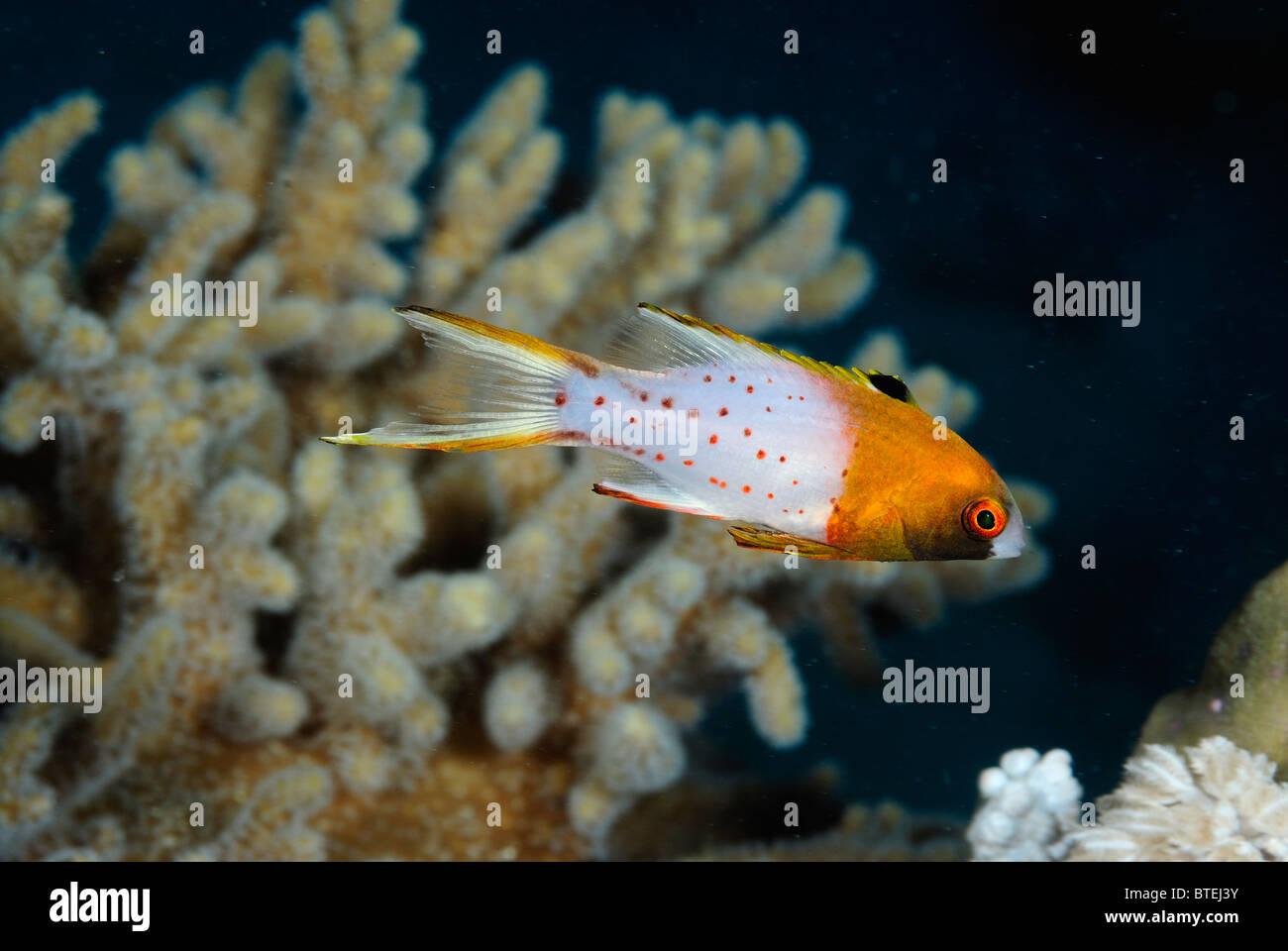 Lyretail hogfish off Hamata coast, Egypt, Red Sea - Stock Image
