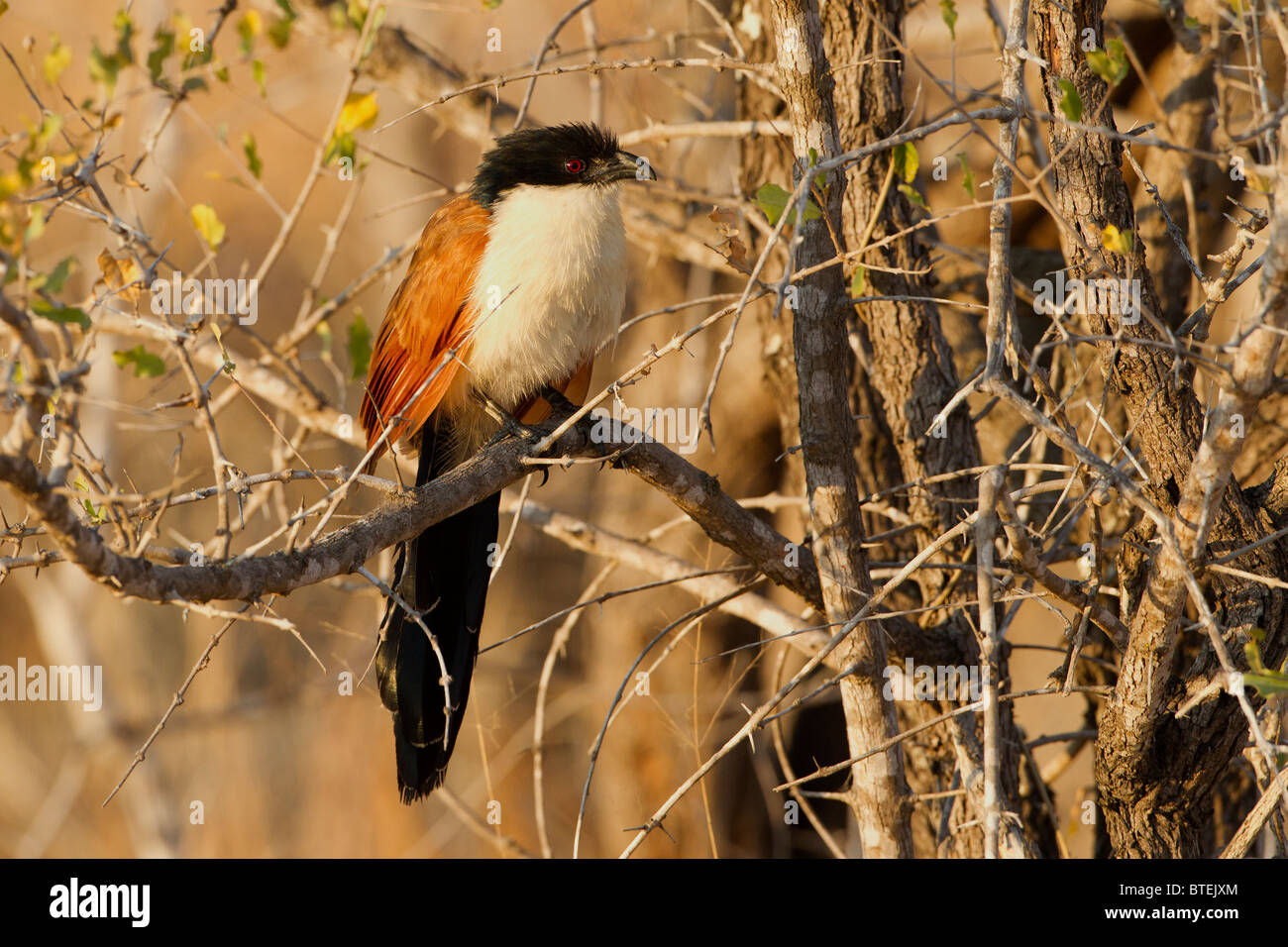 Burchell's Coucal on perch, Kruger National Park, South Africa - Stock Image