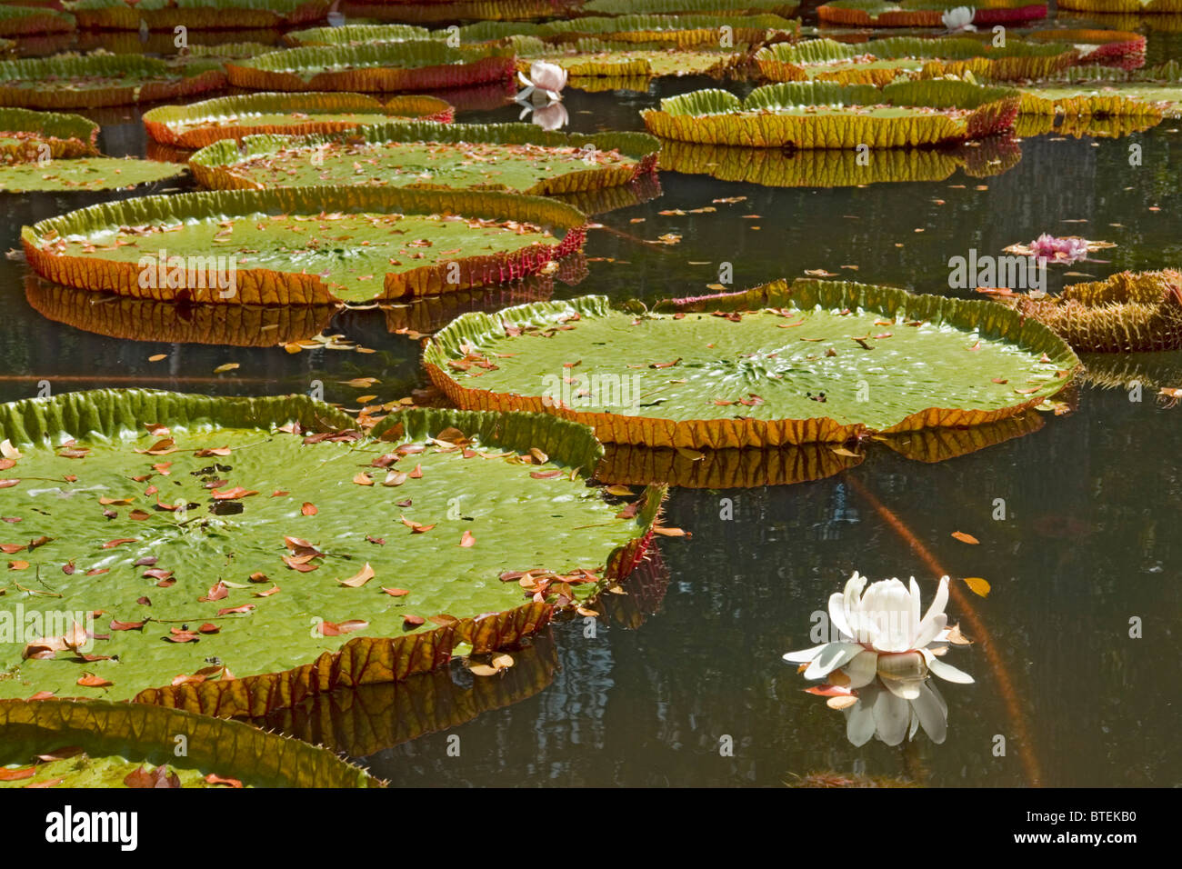 The famous giant water lilies in the SSR Botanical Gardens Stock ...