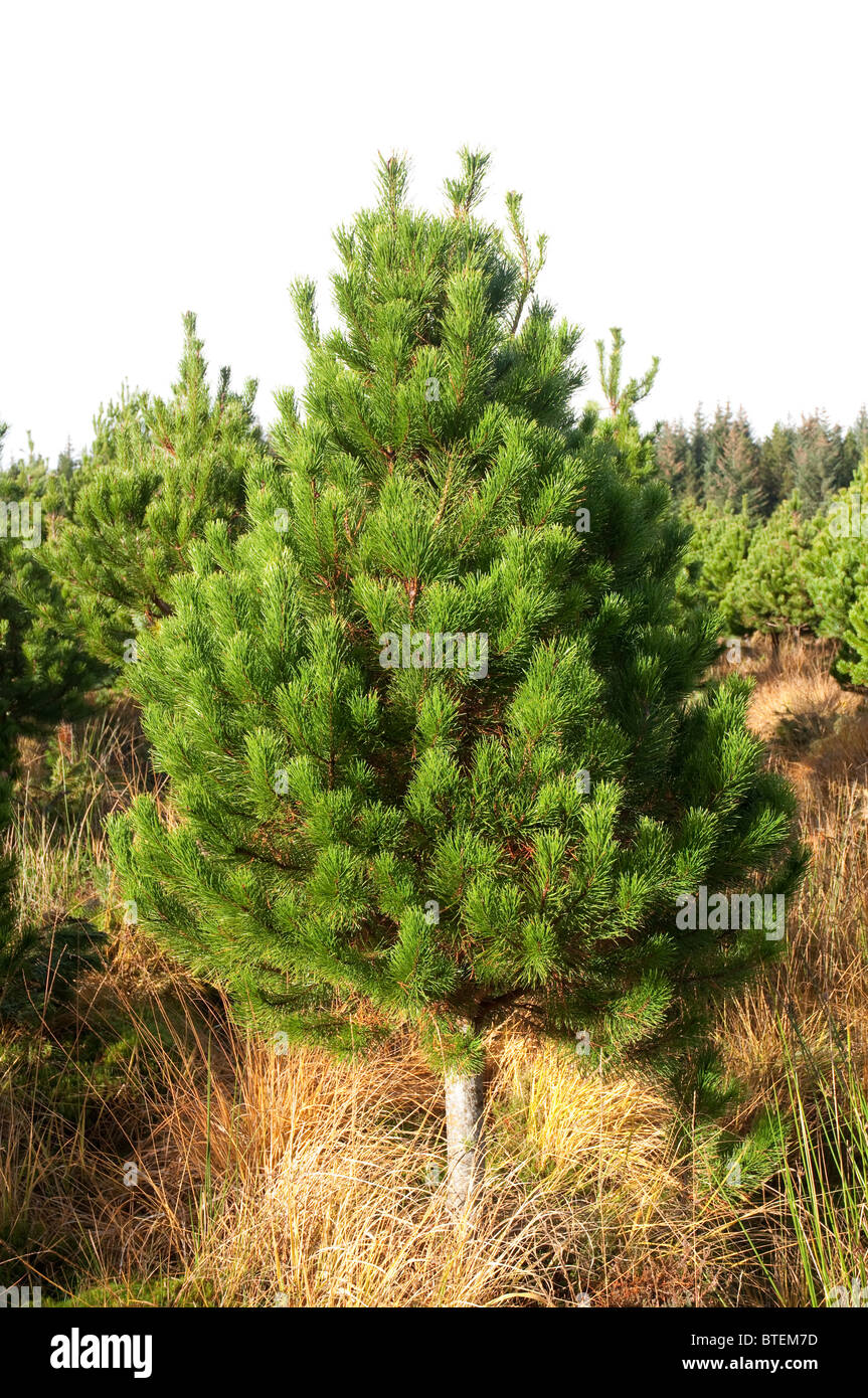 Christmas tree,lodge pole pine, one of the most popular varieties in ...