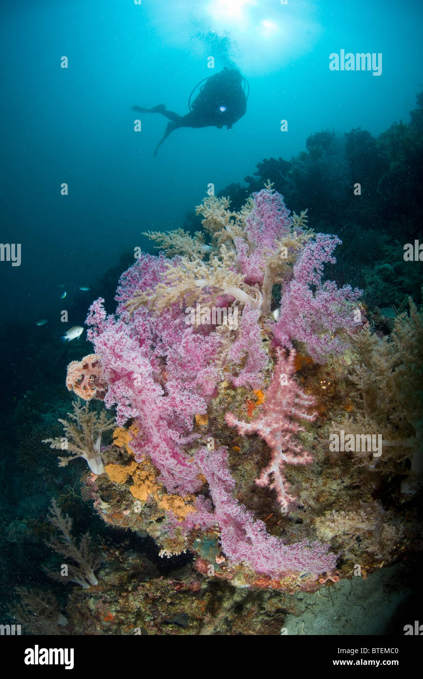 A diver gazes down upon a stunning array of Dendronephthya soft corals off Cabilao Island, Bohol, Philippine, Pacific - Stock Image