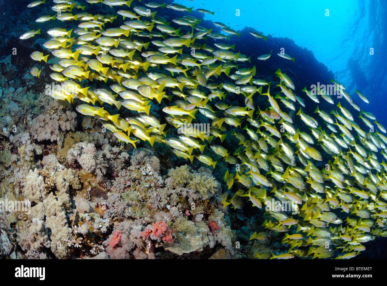 School of blackspot snapper fish, Big Brother Island, Egypt, Red Sea Stock Photo