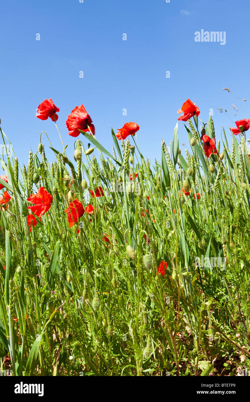 Poppies in a wheat field near the Cotswold village of Condicote, Gloucestershire - Stock Image