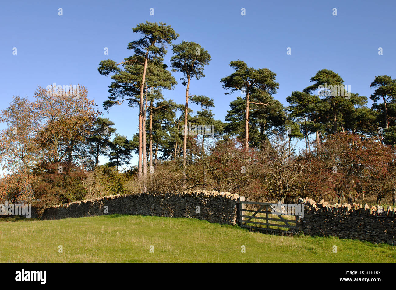 A stand of pine trees on Bredon Hill, Worcestershire, England, UK - Stock Image