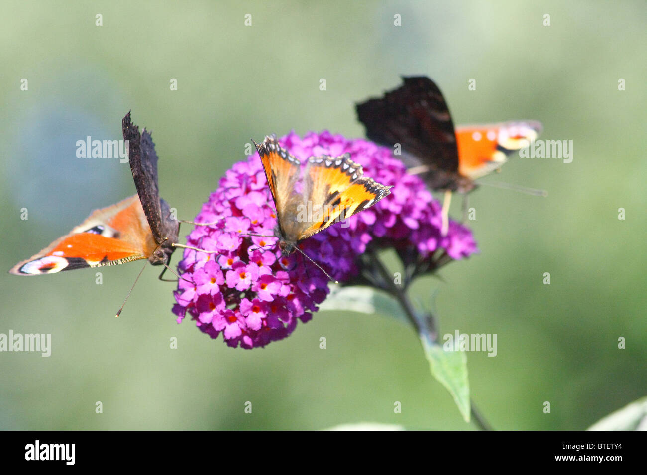 three butterflies - Stock Image