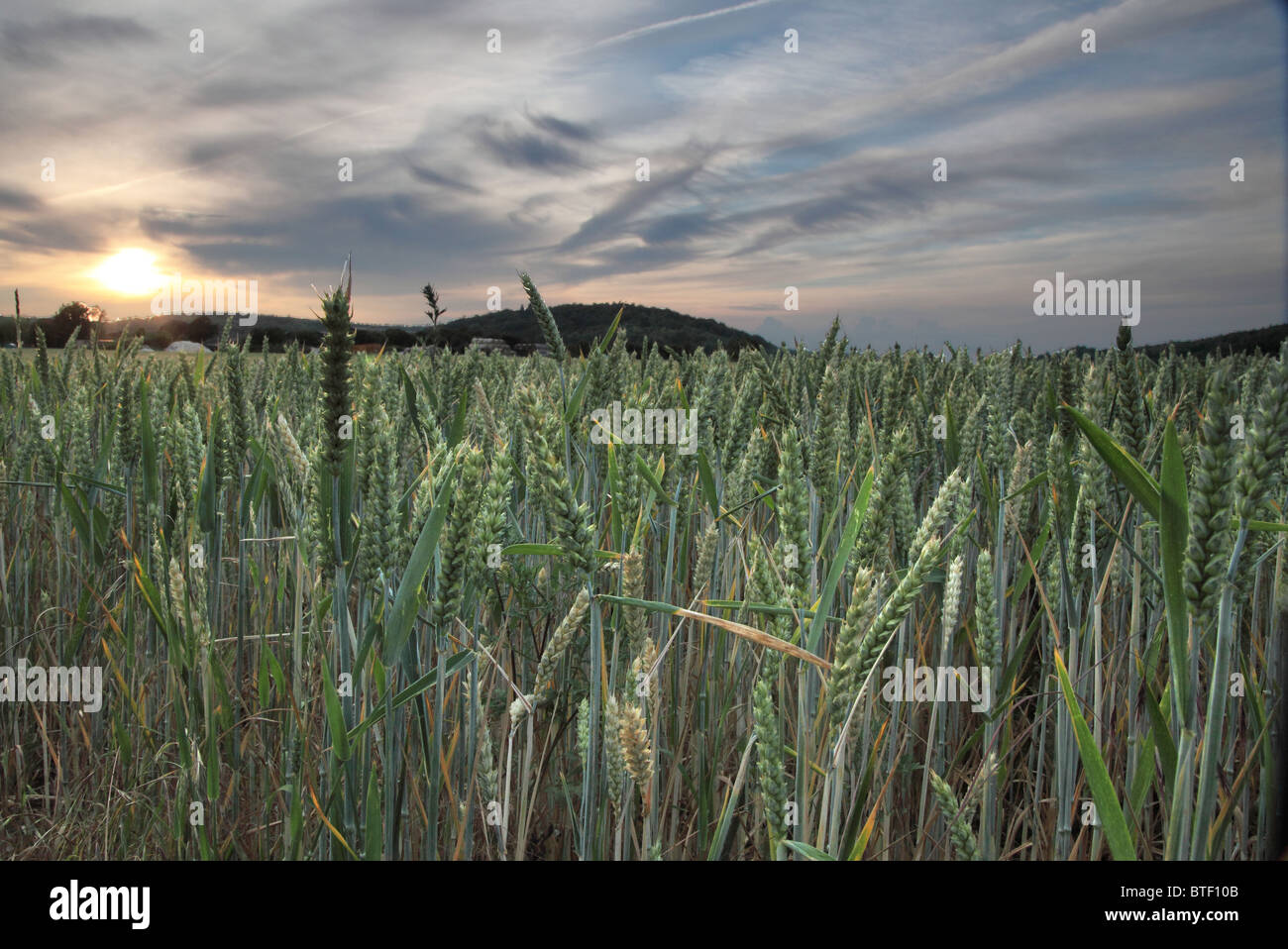 Close up of corn and sunset - Stock Image