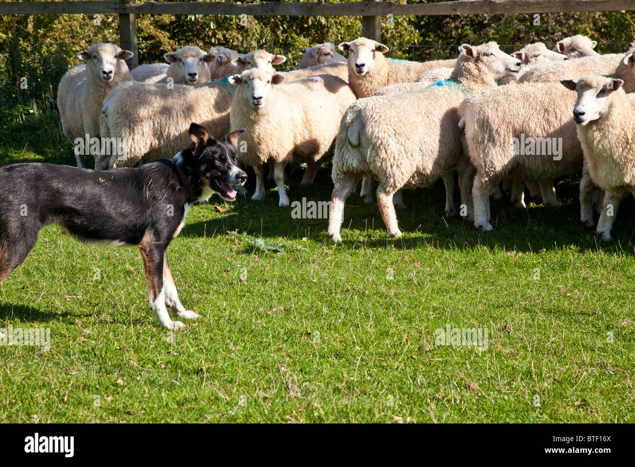 A border collie sheepdog controlling a flock of Romney sheep in a field against the fence - Stock Image