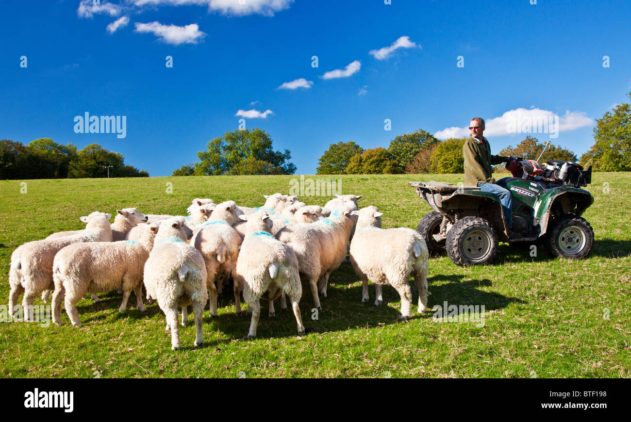 A modern day shepherd on a quad bike controlling a flock of Romney sheep in a field. - Stock Image