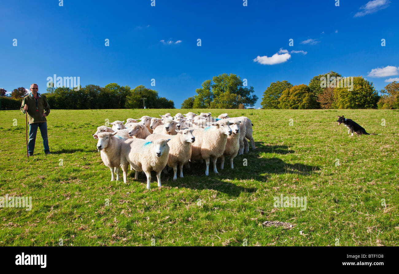 A modern day shepherd working with his border collie sheepdog controlling a flock of Romney sheep in a field. - Stock Image