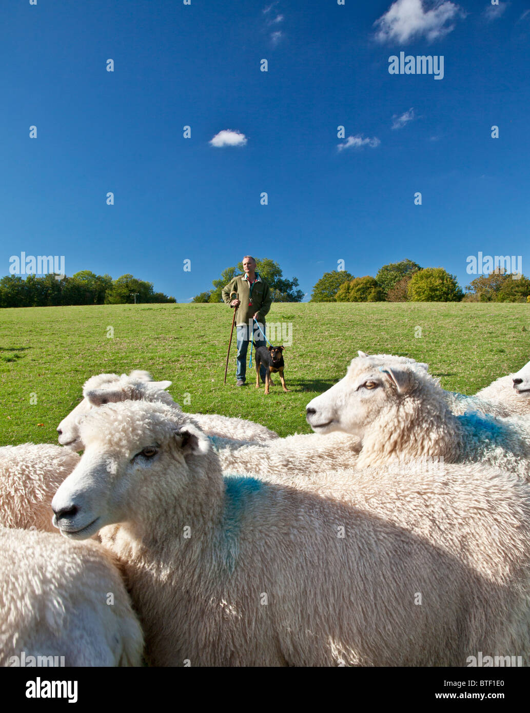 A modern day shepherd with his young New Zealand huntaway sheepdog and a flock of Romney sheep in a field. - Stock Image