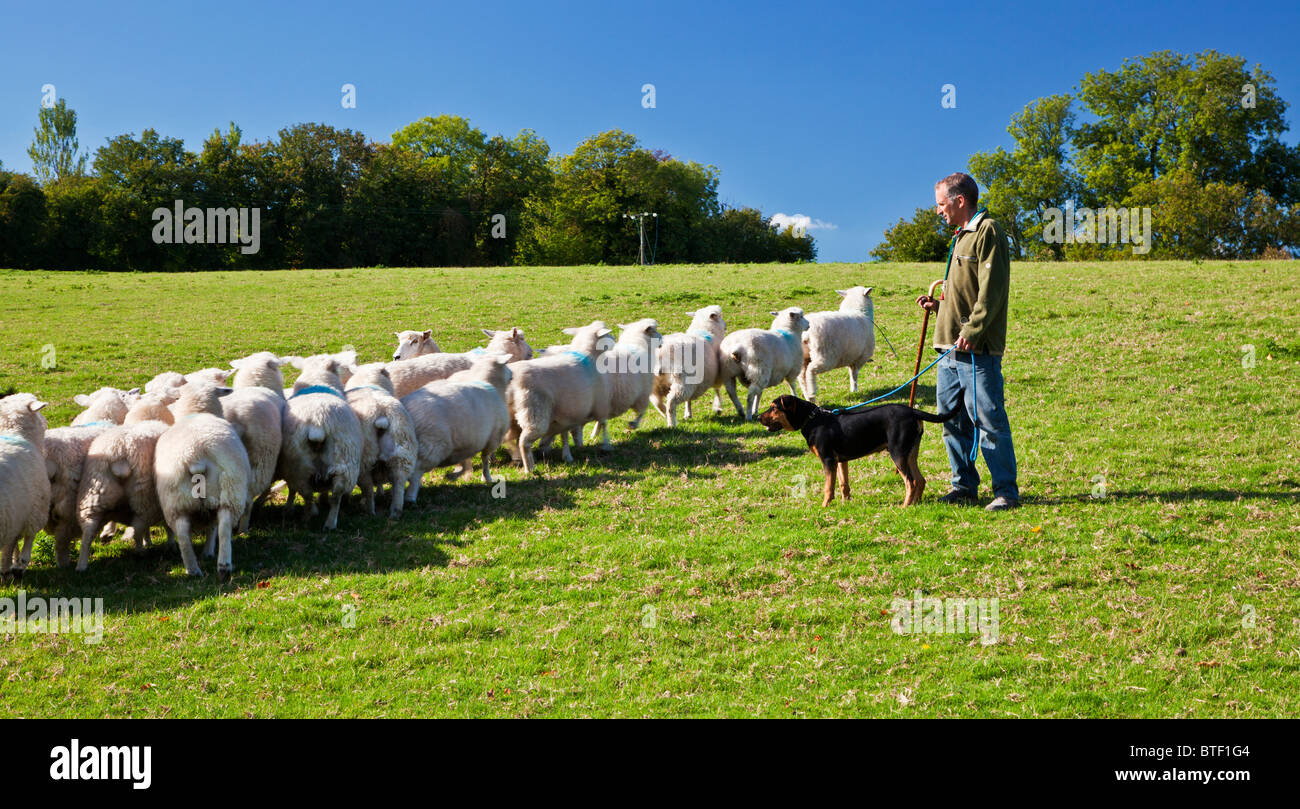 A modern day shepherd training his young New Zealand huntaway sheepdog and a flock of Romney sheep in a field. - Stock Image