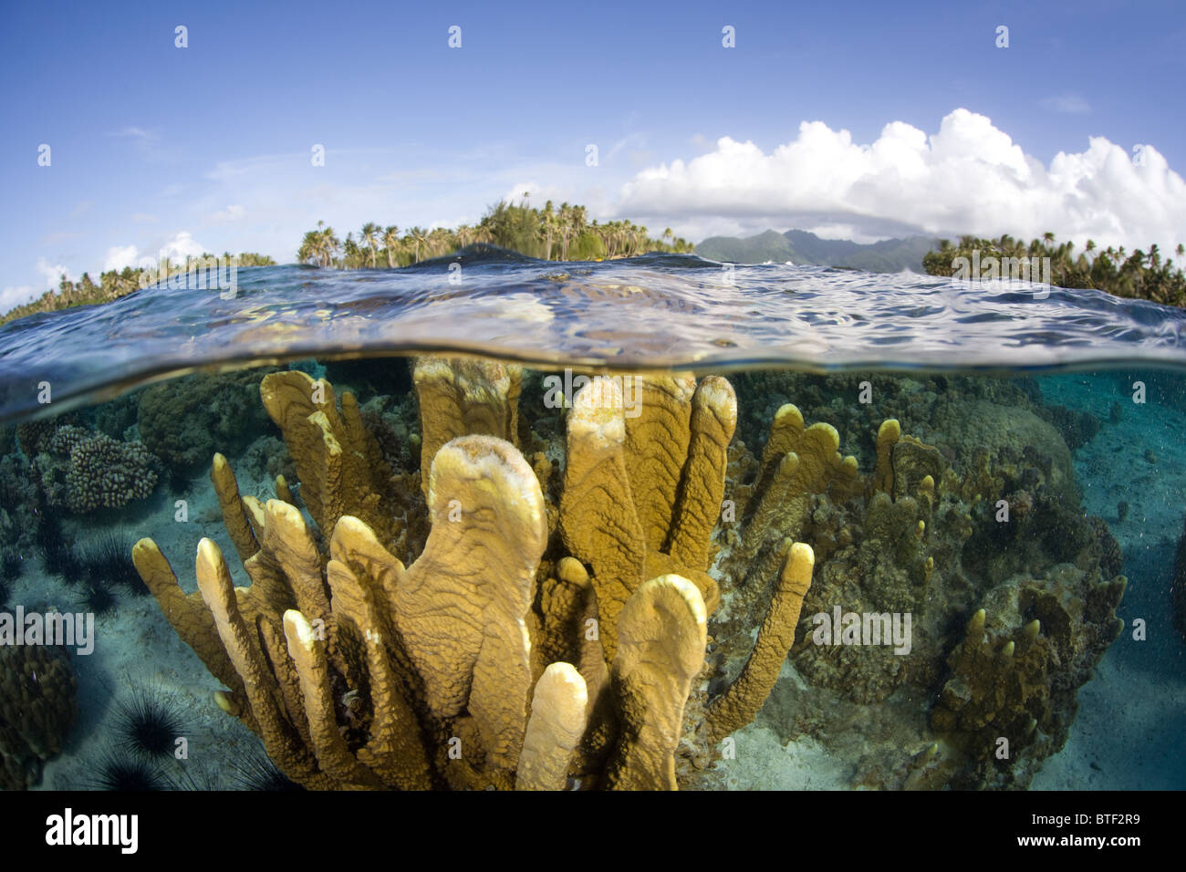 A fire coral colony, Millipora sp., grows just under the surface near the edge of a French Polynesian barrier reef. - Stock Image