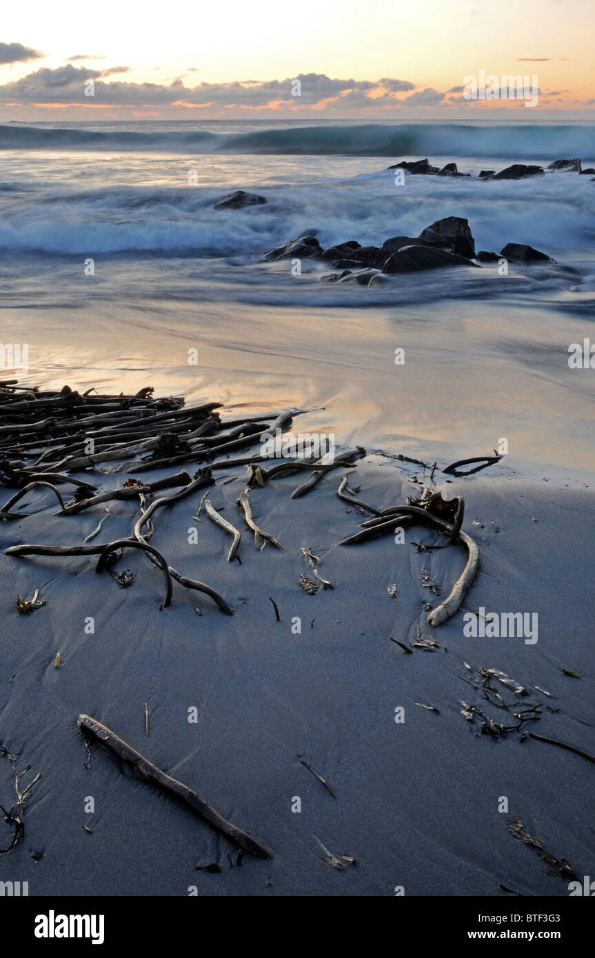The calm after the storm - kelp washed up on a beach in Shetland after a storm - Stock Image