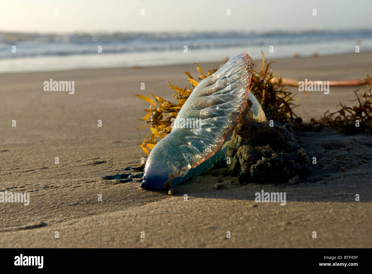 A Man-o-War washed up on the ocean beach in a clump of kelp. Stock Photo