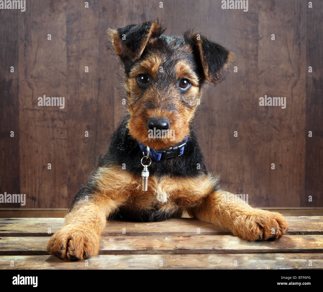 8 weeks old little airedale terrier puppy dog with its paws on a crate - Stock Image